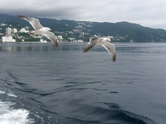 #1301 gulls following ferry (Nemo's great uncle) Tags: bird gull izu atami     eastizu   shizuokaprefecture