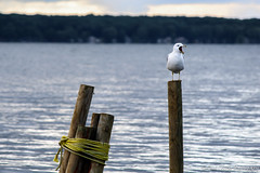 Yawn (ChadCooperPhotos) Tags: morning wild summer lake bird nature water landscape landscapes boat natural wildlife seagull rope wilderness chautauqua chautauqualake