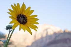 Sunflower (DerickCarss) Tags: park utah ut hiking canyon hike trail national zion np
