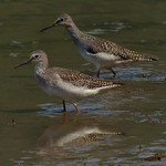 Lesser Yellowlegs thumbnail