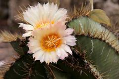 Cactus (carpomares) Tags: cactus flor vegetación