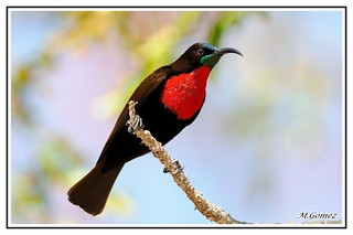Colibrí de pecho escarlata Sunbird (Nectarinia senegalensis)macho, es una especie de ave de la familia Nectariniidae.
