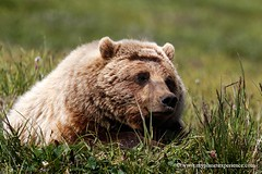 Taking a rest - Grizzly - Denali National Park - Alaska (My Planet Experience) Tags: bear usa nature alaska america mammal photography us photo unitedstates image pics wild