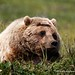 Taking a rest - Grizzly - Denali National Park - Alaska