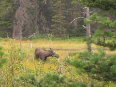 2 Med Moose 23Aug2013-Dean Robbins photo