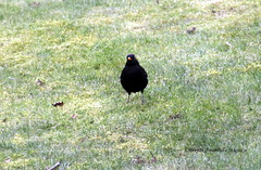 Blackbird at Harrow-on-the-hill in London (magiceye) Tags: uk london blackbird harrowonthehill