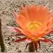 Peachy Echinopsis