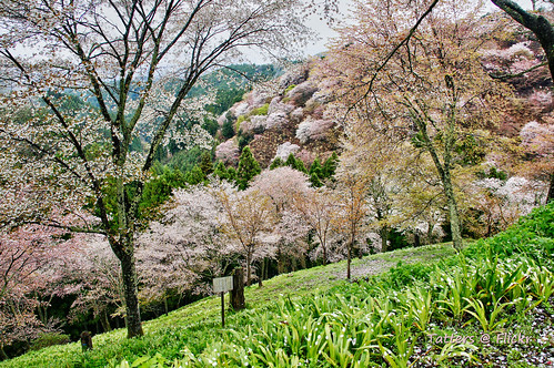 Flowering Cherry forest in Yoshino Japan