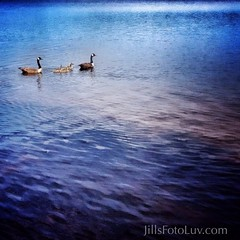 Lovely day for a swim... (jillsfotoluv) Tags: lake water birds swimming virginia geese babies goose goslings chesterfield