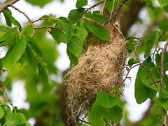 Baltimore oriole nest at Cardinal Marsh IA 854A2887 (naturalist@winneshiekwild.com) Tags: county nest cardinal reis iowa baltimore larry marsh oriole winneshiek