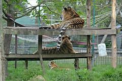 DSC_6567 - Amur (Siberian) tigers (102er) Tags: uk cats nature animal animals fauna zoo big nikon wildlife tiger tamron blackpool amur 70300 d3100