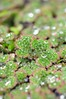Azolla filiculoides. Water Fern. (All Botanical Photography) Tags: waterfern salviniaceae azollaceae azollafiliculoides azolliaceae