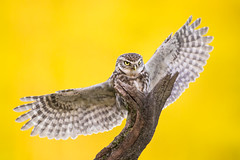 Little Owls (iesphotography) Tags: uk bird nature canon wildlife flight owl owls birdofprey naturephotography littleowl 500mmf4 1dx canon1dx