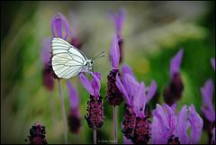 Blanca del majuelo (Aporia crataegi) sobre flores de cantueso (Lavandula stoechas) (Jess Gabn) Tags: butterfly mariposa blackveinedwhite lavandulastoechas aporiacrataegi cantueso blancadelmajuelo jesusgaban