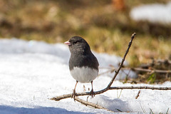 Early Spring for a Dark-eyed Junco (AnnaPirata) Tags: snow bird spring massachusetts darkeyedjunco juncohyemalis mountauburn tamronsp150600mmf563divcusd