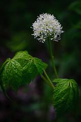 Red Baneberry (PJ Anderson Photography) Tags: flower southdakota wildflower redbaneberry actaearubra sicahollowstatepark