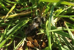 Ashy Mining or Grey Mining Bee - Andrena Cineraria