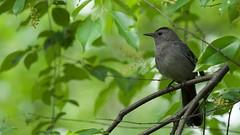 Singing Gray Catbird (mausgabe) Tags: nyc bird centralpark scout olympus explore em1 theramble graycatbird olympusmc14teleconverter olympusm40150mmf28
