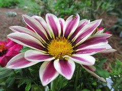 Gazania 'Big Kiss Mix' (Lisa Zins) Tags: pink flower june yellow garden petals tn tennessee annual flowerpetals 2015 tennesseeflowers lisazins