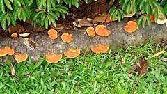 Jardim Botnico Curitiba, PR, Brasil (Luciano Felipe) Tags: fungo cogumelo orange fungus mushroom