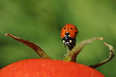 Red the color of love (gelein.zaamslag) Tags: holland nederland netherlands zeeland zeeuwsvlaanderen natuur nature lieveheersbeestje ladybug insects insecten insect tomaat tomato macro geleinjansen