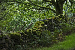 the wall that became one with the forest (lunaryuna) Tags: cumbria england countryside forest wood forestinterior tree wall stonedyke overgrown mosses ferns allgreen timeistakingcareofthings lunaryuna