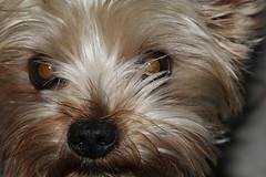 Pepper (twm1340) Tags: fortworth tx texas dog yorkshire yorkie terrier