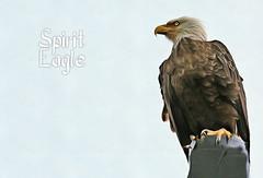 Etikaiele Awaahili - Sacred Eagle (QuakerVille) Tags: eagle baldeagle baldhead baldheadedeagle joeoverstreet kissimmee lakekissimmee jonmarkdavey alligator lake centralflrida kenansville fl usa