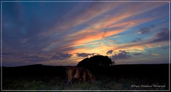 Grazing (Simon Woodward Photography) Tags: outdoor sky clouds forset horses sunset dusk cloud trees