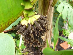 Musa acuminita 8 (heinvanwinkel) Tags: 2012 banaan bloemvandedag commelinids euphyllophyta hortus juni leiden liliopsida magnoliophyta mesangiospermae musaacuminata musaceae nederland petrosaviidae spermatophyta tracheophyta zingiberales