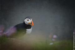 DSC_4334-2 (nigelsnell) Tags: birds puffinfraterculaarctica salteeisland bird ononesoftware photo10 textures
