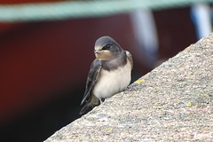 DSC01827 (simon_curwen) Tags: swallow bird feeding chick