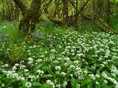 Wild garlic (Allium ursinum), Ballachuan Hazelwood SWT Reserve, Seil (Niall Corbet) Tags: scotland argyll seil ballachuanhazelwood swt reserve scottishwildlifetrust wildgarlic alliumursinum green forest wood woodland hazel corylusavellana