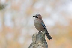 Geai des chênes (chogori20) Tags: bird nature animal oiseau garden geai jay