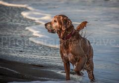 Dog On The Beach. (Photographer Dave C) Tags: canon canon40d canonofficial photography photographerdave passion photograph portrait dog bangor beauty beach beautiful crawfordsburn 2016 awesome autumn art landscape light seascape