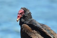Jote de cabeza colorada (Cathartes aura jota) (gabicontrerasb) Tags: aves avesdechile ave bird birds birding chile jote carroero nature wildlife