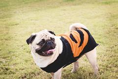 _MG_9059 (annamkeith) Tags: django pug halloween fall pugoween