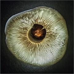 Mysterious Mushroom (blasjaz) Tags: blasjaz pilz lamellen canon400d