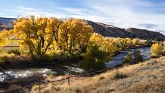 Wind River Blaze (fotostevia) Tags: duboiswyoming windriver wyoming cottonwoods fall fallcolor fallleaves stream yellowleaves