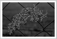 IMGP2724-A-sw-Rahmen-kl-kl (fredericfromage) Tags: tau tautropfen gras herbst wassertropfen bw sw monochrom