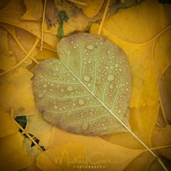 I Heart Autumn Leaves (NikonDigifan) Tags: ashleaf ginkgoleaves ash ginkgo autumn fall leaves fincharboretum arboretum spokanewashington niksoftware viveza nikond750 tamron7020028 extensiontube waterdrops raindrops tamronlenses tamron mikegassphotography