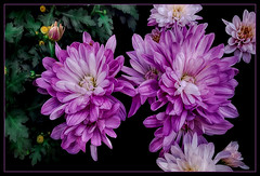 Flowers in autumn.... (scorpion (13)) Tags: asters flower blossoms nature photoart plant frame autumn