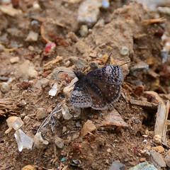 Dreamy Duskywing_1922 ( Erynnis icelus ) (agawa2yukon) Tags: hesperiidae pyrginae butterflies butterfly algoma lepidoptera