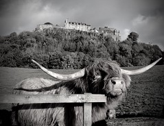 The Coo And The Castle (val.moir) Tags: highland cows stirling castle field scotland