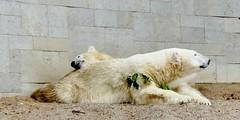 VILMA 2002-2016 RIP (BrigitteE1) Tags: vilma20022016rip vilma eisbär polarbear eisbärvilma polarbearvilma hartzpolar бяламечка 北極熊 北极熊 ᐧᐋᐸᔅᒄ isbjørn jääkaru jääkarhu oursblanc πολικήαρκούδα λευκήαρκούδα nanoq ᓇᓄᖅ ísbjörn hvítabjörn orsopolare orsobianco 白熊 シロクマ ホッキョクグマ óspolar ósblanc 북극곰 흰곰 polarnimedvjed polārlācis ijsbeer niedźwiedźpolarny ursopolar urspolar белыймедведь osopolar jegesmedve kutupayısı explored
