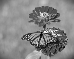 2016-10-26_12-41-21 (kimvisnaw) Tags: butterfly fall kscattails monarch nature overlandparkarboretum zinnia