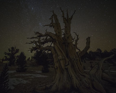 Ancient Wisdom (Maddog Murph) Tags: ancient wisdom bristlecone pine tree trees forest white mountains silver canyon offroad adventure travel snow winter astro night stars star astroscape nightscape dark branches