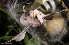 Bombyx mori (Silkworm - Baco da seta) (frillicca) Tags: 2010 bacodaseta bombycidae bombyxmori butterfly falena farfalla giugno insect insetto june lepidoptera lepidottero macro macrofotografia moth roma seta silkworm insetti