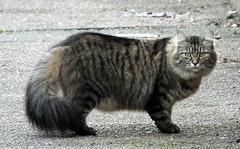 Another cat in Gorleston (Moldovia) Tags: fujifilmfinepixhs50exr bridgecamera cat animal pet feline hairy ears eyes tail catnipaddicts catspotting catpix catalog catmoments catsunleashed