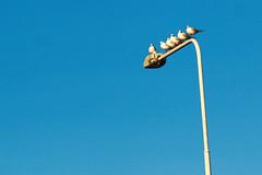 Seagulls on a streetlight (davesculley) Tags: seagulls sky blue lineup streetlight
